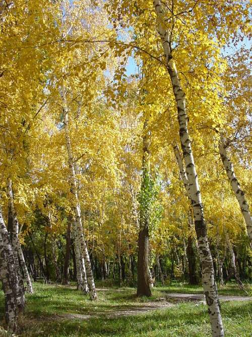 Birch Autumn Park Trees Golden Autumn Leaves