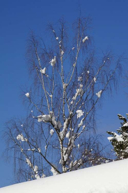 Birch Snow Snowy Blue Winter Sky Tree Sunny