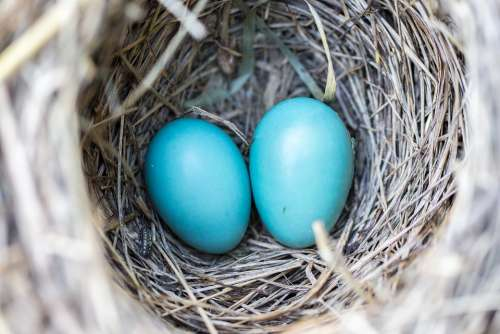 Bird Eggs Nest Blue Wildlife Nature Natural