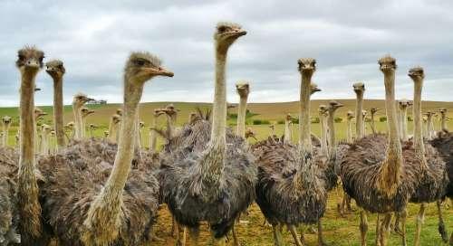 Bird Animal Nature Strauss Bouquet Ostrich Farm