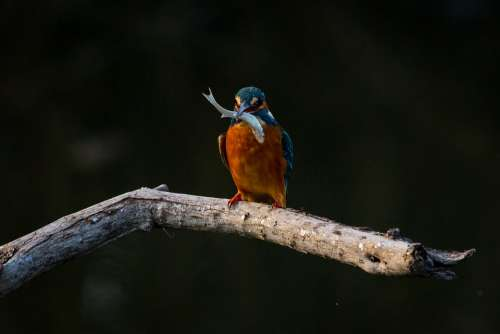 Bird Kingfisher Animal Nature Branch Perched