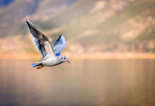Bird Seagull Flying Wings Gull Animal