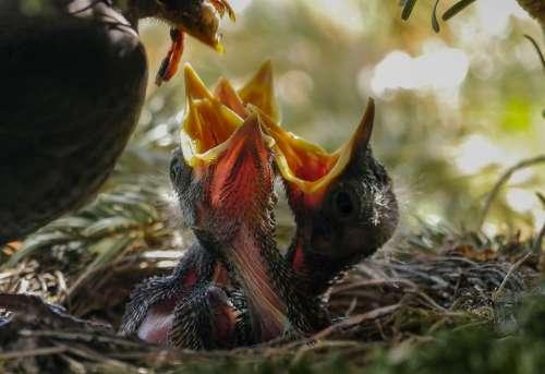 Bird Nest Feed Nature Animal Blackbird Hatching