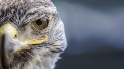 Bird Falcon Nature Beak Predator Wild Game Birds