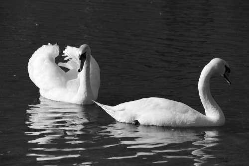Bird Water Birds Swan Park
