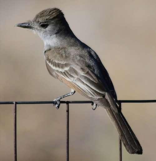 Bird Brown Nature Wildlife Plumage Males Beak