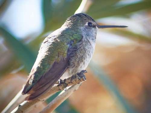 Bird Costa'S Hummingbird Nature Wildlife Feather