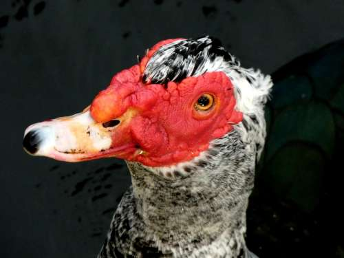 Bird Water Bird Muscovy Duck Florida