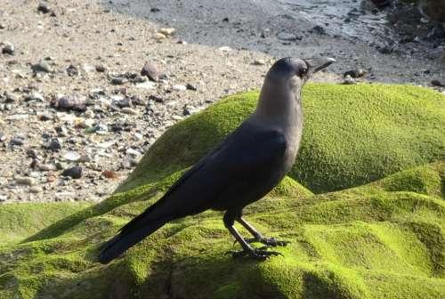 Bird Crow House Crow Corvus Splendens Indian
