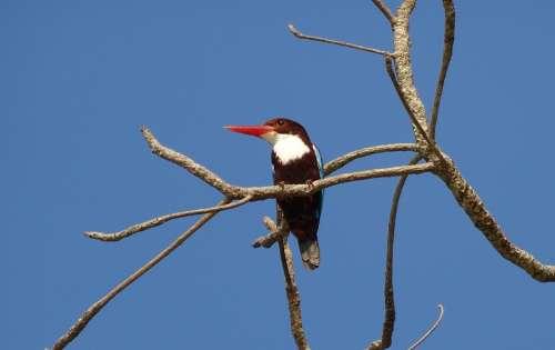 Bird Kingfisher White-Throated Kingfisher