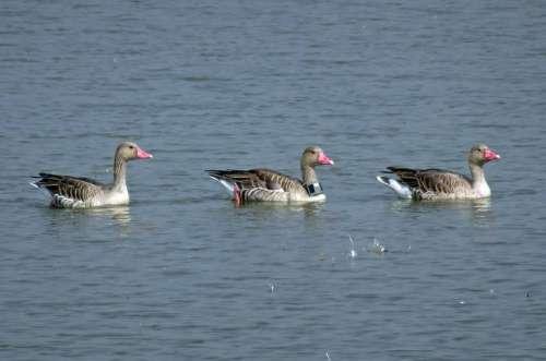 Bird Goose Greylag Goose Radiocollared