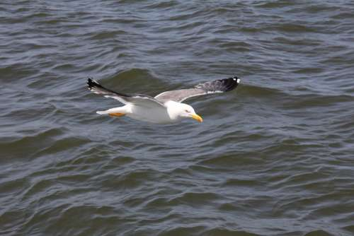 Bird Seagull Water Sea Nature Flying Animal World
