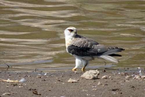 Bird Black-Shouldered Kite Elanus Axillaris Raptor