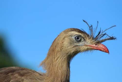 Bird Seriema Animal Look Beak Wild Plumage Head