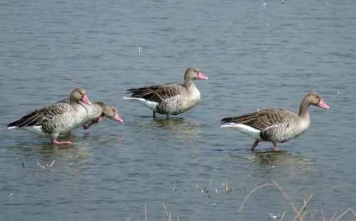 Bird Goose Greylag Goose Migratory Ornithology