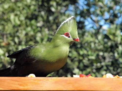Bird Green Knysna Lourie Wildlife Colorful