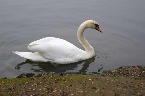 Bird Swan Water White Feather Animal Lake Nature