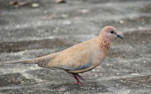Bird Dove Animal Nature Wings Feathers Plumage