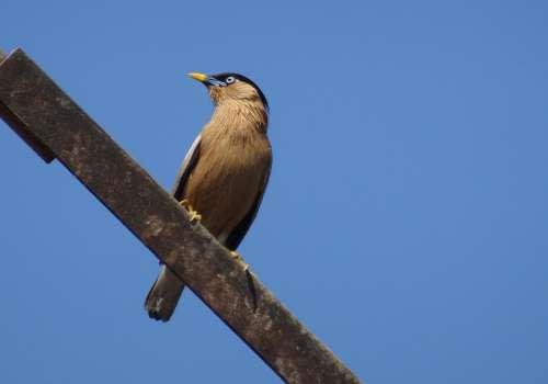 Bird Myna Mynah Brahminy Myna Starling