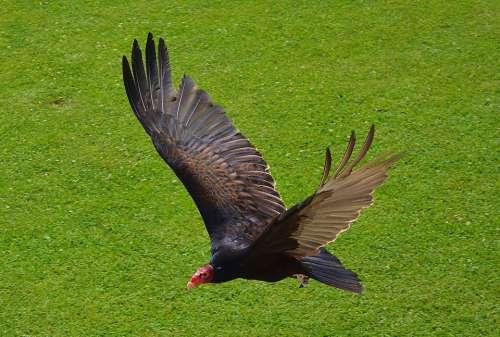 Bird Vulture Animal World Scavengers Nature