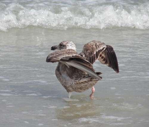 Bird Beach Bird Aquatic Birds Wildlife Shore Ocean