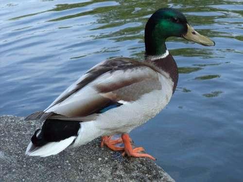 Bird Wild Ducks Duck Waterfowl Lakeside Beak