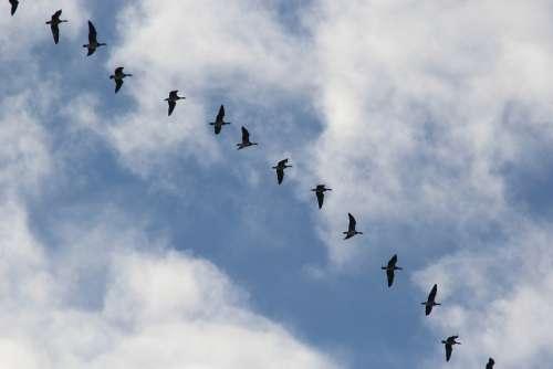 Bird Migration Migratory Birds Wild Geese Blue Sky