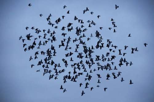 Birds Covey A Bevy Of Silhouette Flies Wings