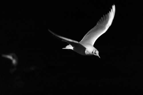 Birds Flight Night Seagull Freedom Wing Feather