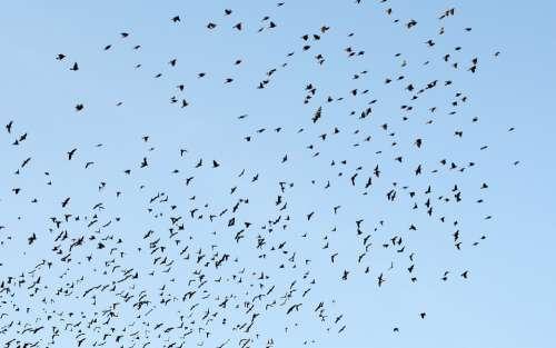 Birds Sky Blue Flock