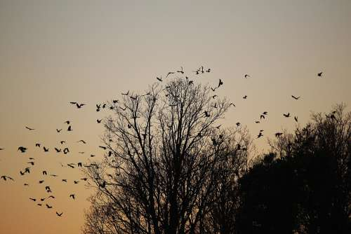 Birds Swarm Flock Of Birds Dig Departure