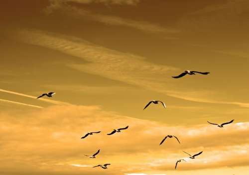 Birds Flock Air Animals Feather Flight Fly