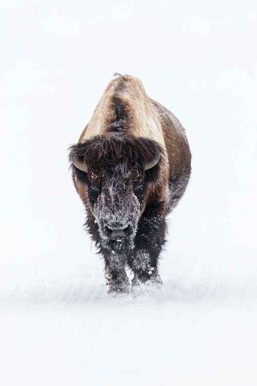 Bison Buffalo Snow Bull Lone Eating Landscape