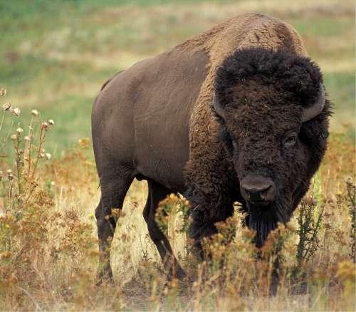 Bison Buffalo American Animal Mammal Prairie