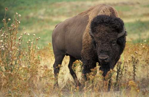 Bison Buffalo Usa Beef Wild Wilderness Bovini