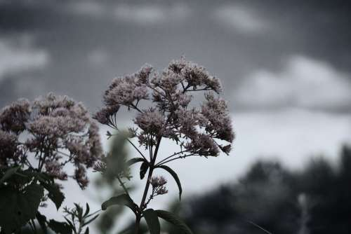 Black And White Fall Flower Autumn Natural Plant