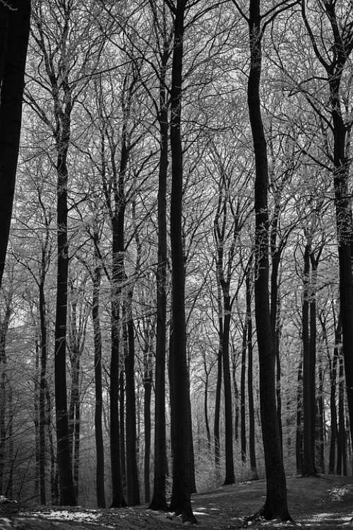 Black And White Forest Landscape Nature Trees