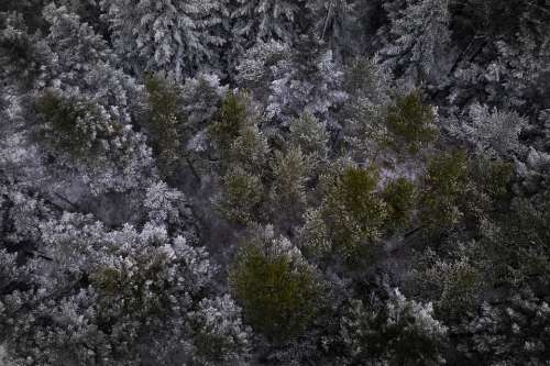 Black Forest Firs Trees Fir Trees Snow Nature