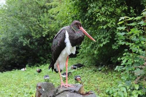 Black Stork Bird Bill Stork