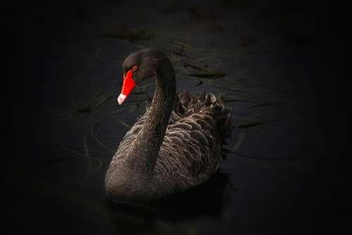Black Swan Waterfowl Cygnus Atratus