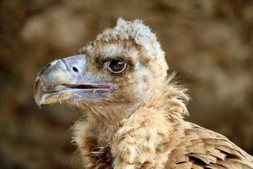 Black Vulture Vulture Cowl Vulture Young Bird Bird