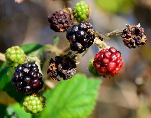 Blackberries Autumn Dry Hoverfly Food Nature
