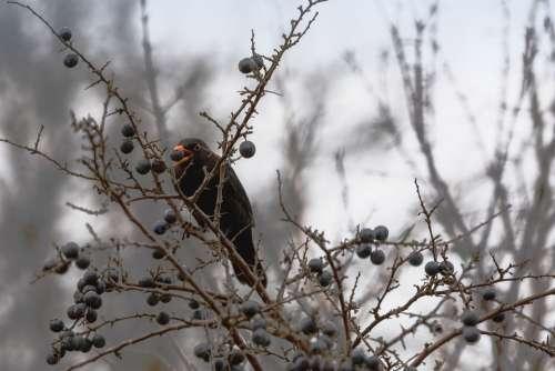 Blackbird Aesthetic Eat Berry Nature Bird Bill