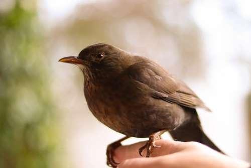 Blackbird Nature Bird Brown