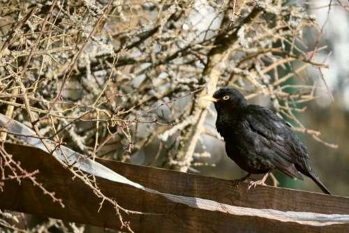 Blackbird Bird Winter Bridle Bush Hidden Branch