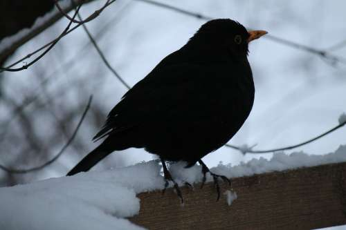 Blackbird Winter Bird Bird Backlighting Night Bird