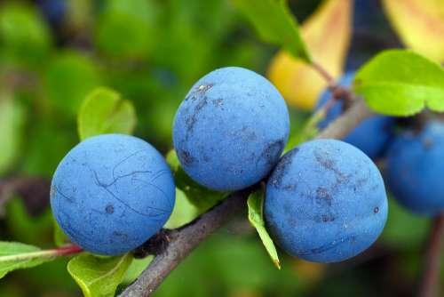 Blackthorn Plums Berry Blue Vitamins Tasty