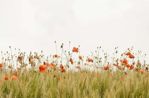 Bloom Poppies Blossom Field Flora Flowers Nature