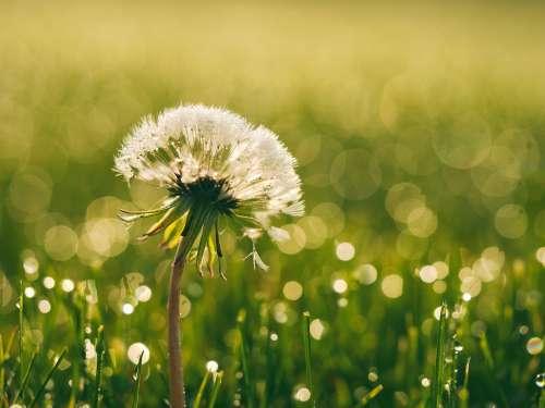 Bloom Blossom Dandelion Dew Flora Flower