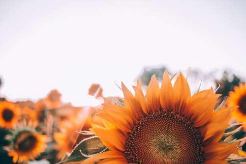 Bloom Sunflower Blossom Close-Up Field Flora